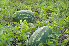 Growth watermelon Stock Images