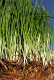 Growth wheat  Royalty Free Stock Image