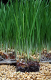 Growth wheat Royalty Free Stock Photos