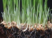 Growth wheat Stock Image