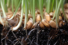 Growth wheat Royalty Free Stock Photography