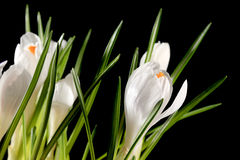 Growth of white crocuses on the black background Stock Photography