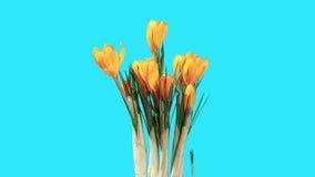 Growth of yellow crocuses flower buds ALPHA matte stock video