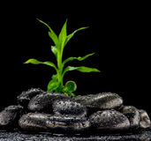 Growth or zen concept. Green leaves on black pebbles, nature or zen concept Stock Images
