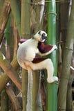 groził coquereli antananarivo coquerel endemicznego Madagaskaru lemura park jest propithecus sifaka Obrazy Stock