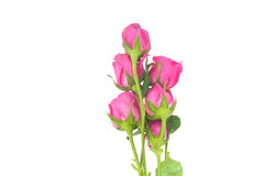 Grpup der Rosarose auf weißem Hintergrund Lizenzfreie Stockfotos