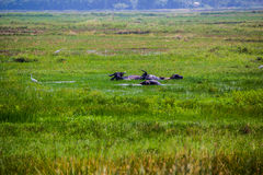 Grren fält med bufflar Royaltyfri Foto