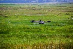 Grren-Feld mit Büffeln Lizenzfreies Stockfoto