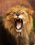 Grrr... Close up of African Lion roaring with mouth wide open royalty free stock photography