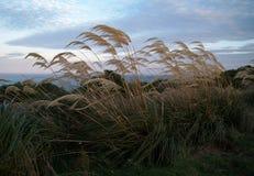 Gräs i winden Arkivbilder