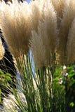 gräs pampas Arkivbild