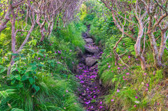 Gräs- Ridge, Catawbarhododendron, Roan Mountain State Park Arkivbild