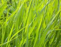 Gräs växter Fotografering för Bildbyråer