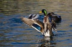 Gräsand Duck Stretching Its Wings på vattnet Royaltyfri Foto