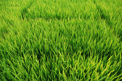 gräsgreen Royaltyfria Bilder
