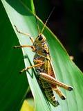 gräshoppa Arkivfoto
