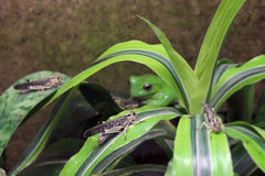 Gräshoppa och dess rovdjur - Wallaces flyggroda (den Rhacophorus nigropalmatusen) Royaltyfria Foton