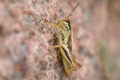 Gräshoppa på en vagga Arkivbild