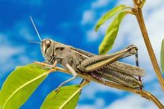Gräshoppa på träd Royaltyfria Bilder
