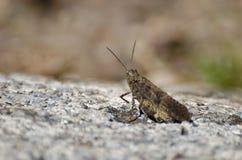 Gräshoppa som vilar på en vagga Arkivbilder