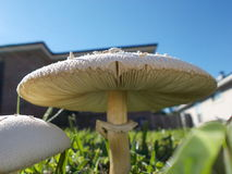 Gräsmattagiftsvampar, svamp, svampar eller champinjoner Royaltyfri Fotografi