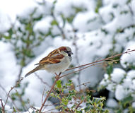 Gråsparv i Snow Royaltyfri Foto