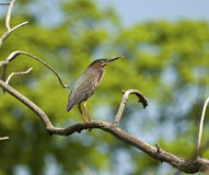 Gräsplan-Dragen tillbaka Heron Arkivfoto