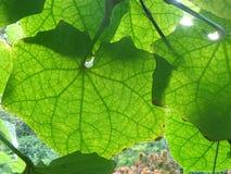 Gräsplan lämnar vinrankan i trädgården Fotografering för Bildbyråer