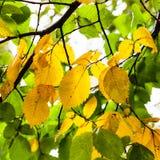 Gräsplan- och gulingsidor av almträdet i höst Royaltyfri Bild
