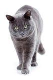 Gräsplan synad maltesisk katt också som är bekant som de brittiska blåtten Royaltyfri Bild