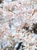 Gråta körsbärsröda blomningar Arkivbilder
