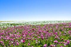 Gärten der rosa und weißen Blume Lizenzfreies Stockfoto