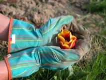 Gärtner, der eine Tulpe schützt Lizenzfreies Stockfoto