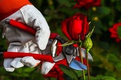 Gärtner ` s Hand, die eine Rose abschneidet Stockbilder