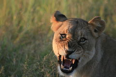 Gruñido de la leona Imágenes de archivo libres de regalías