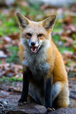 Gruñido del Fox rojo Foto de archivo libre de regalías