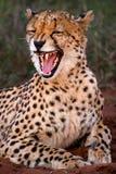 Gruñido 1 del guepardo imagen de archivo libre de regalías