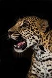 Gruñido joven de Jaguar con el primer de los dientes en selva en fondo negro fotos de archivo libres de regalías
