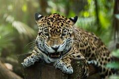 Gruñido joven de Jaguar con el primer de los dientes en selva en fondo negro fotos de archivo