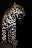 Gruñido joven de Jaguar con el primer de los dientes en selva en fondo negro fotografía de archivo