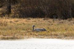 Gru che cova nel lago Fotografie Stock Libere da Diritti