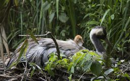 Gru comune con il pulcino nel nido immagini stock