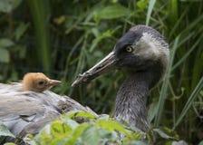 Gru comune con il pulcino nel nido immagini stock libere da diritti
