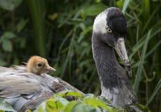 Gru comune con il pulcino nel nido fotografie stock