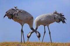Gru comune, gru di gru, erba foraggera, due grande uccello nell'habitat della natura, lago Hornborga, Svezia immagini stock