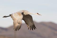 Gru di Sandhill che vola vicino alle montagne Immagini Stock