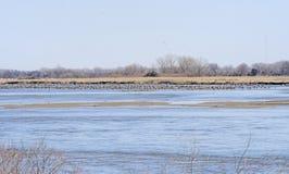 Gru di Sandhill sul fiume Platte in primavera Immagine Stock