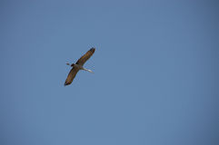 Gru di Sandhill in volo Fotografia Stock Libera da Diritti