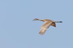 Gru di Sandhill in volo Immagini Stock Libere da Diritti