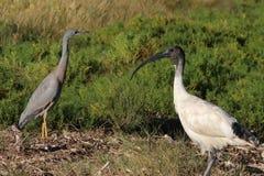 Gru e ibis Immagine Stock Libera da Diritti